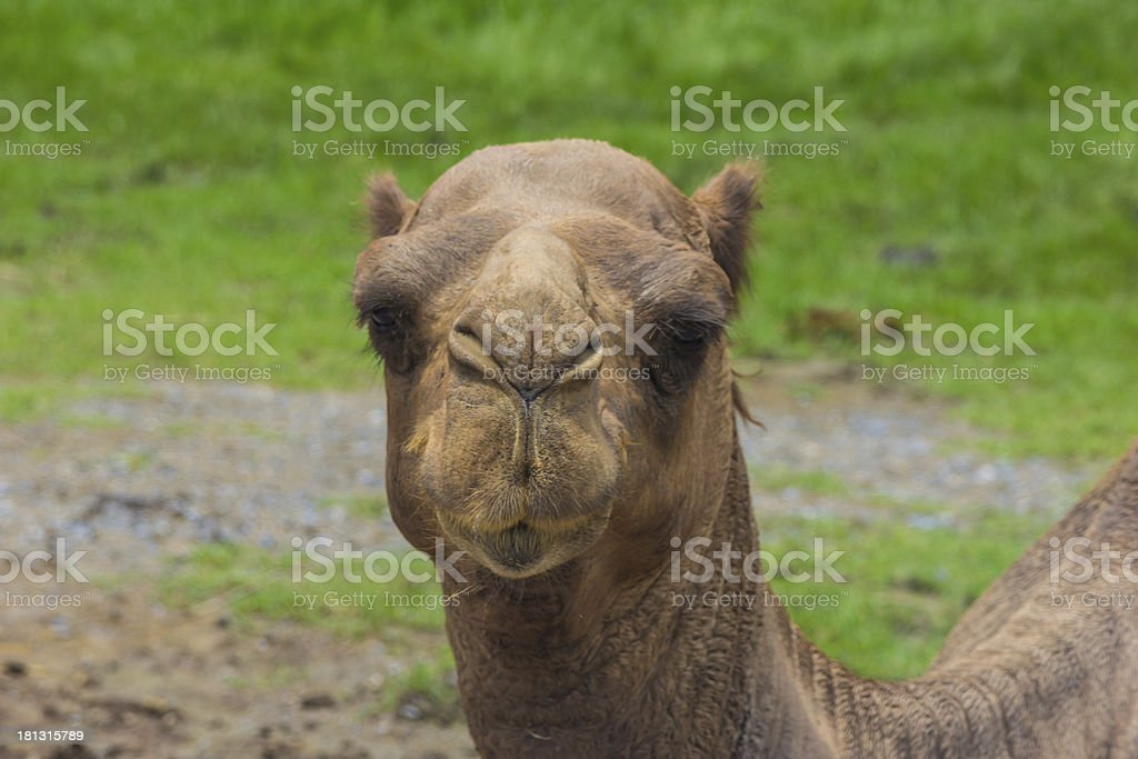 Face of camel front view in nature royalty-free stock photo