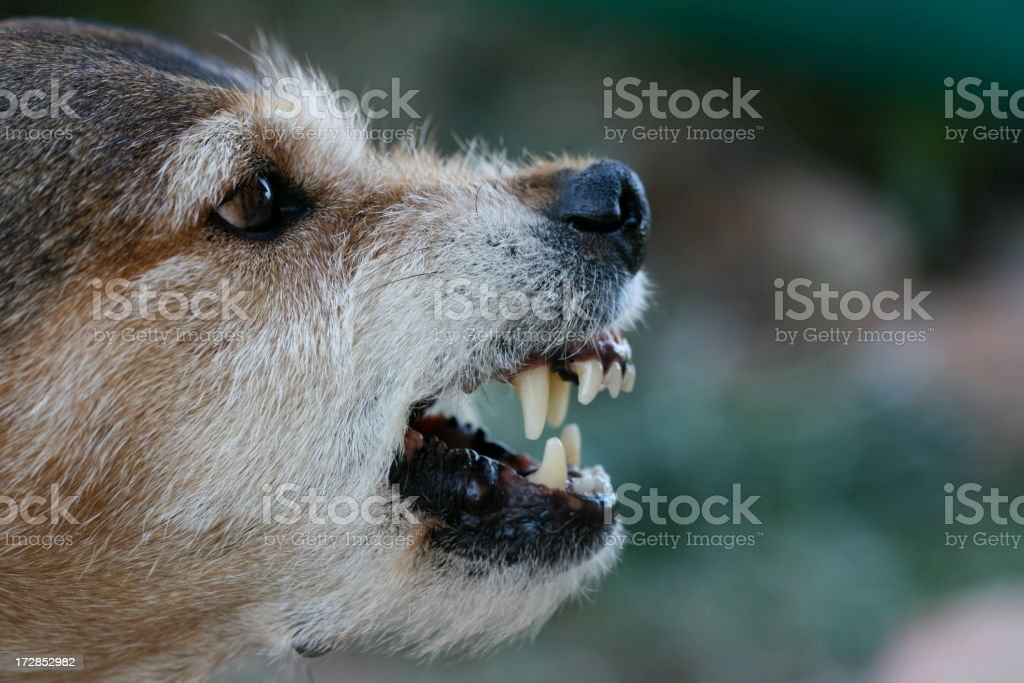Face of growling mutt ready to strike with sharp fangs Angry dog bares its teeth in sign of aggression. Aggression Stock Photo