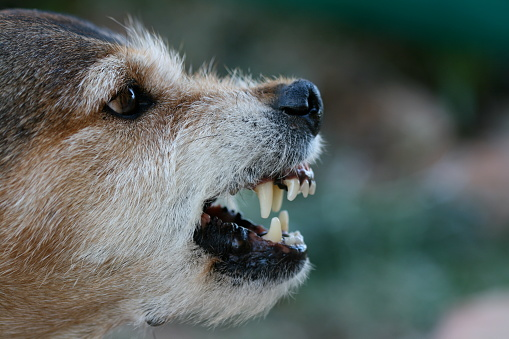 Face Of Growling Mutt Ready To Strike With Sharp Fangs Stock Photo - Download Image Now