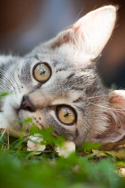 Face of little kitten laying on the grass stock photo