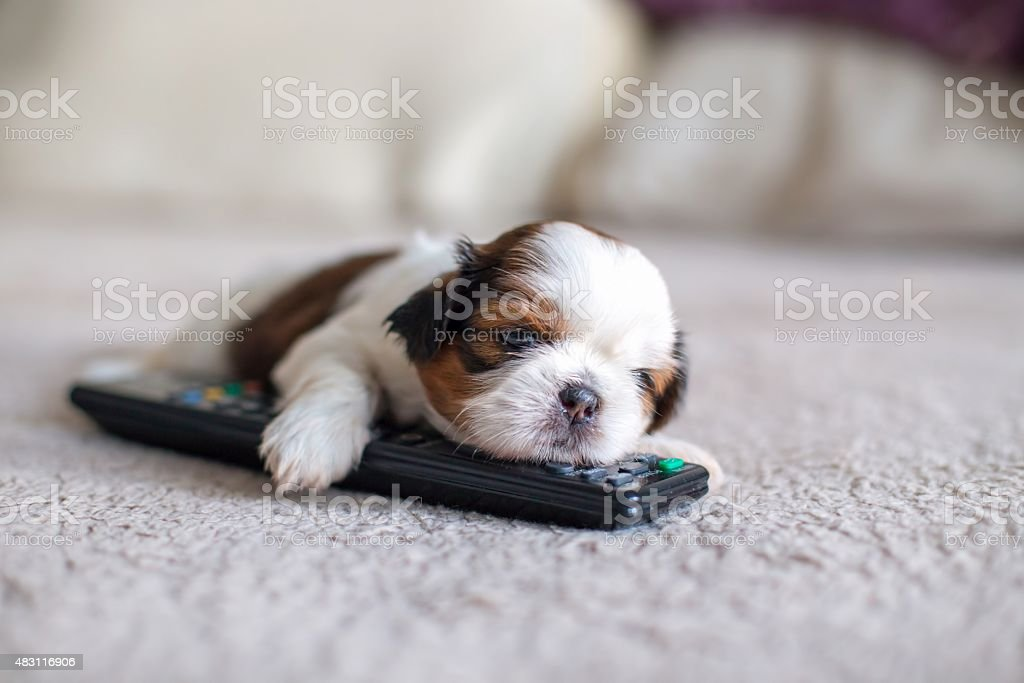 Face Of Little Shihtzu Puppy Stock Photo Download Image Now Istock