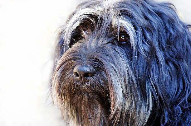 Face of portuguese sheepdog Face of portuguese sheepdog sheepdog stock pictures, royalty-free photos & images