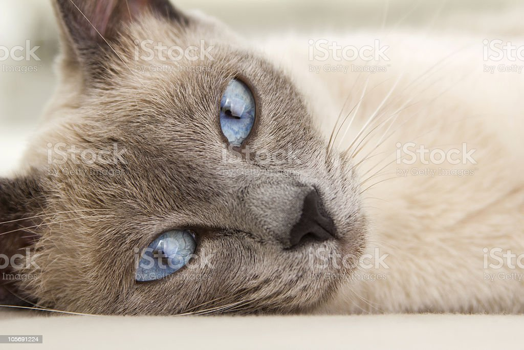 Face of Siamese Relaxing stock photo