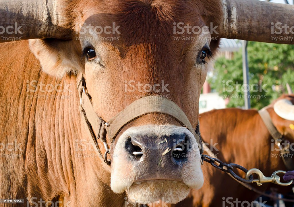 Face of Texas Longhorn stock photo