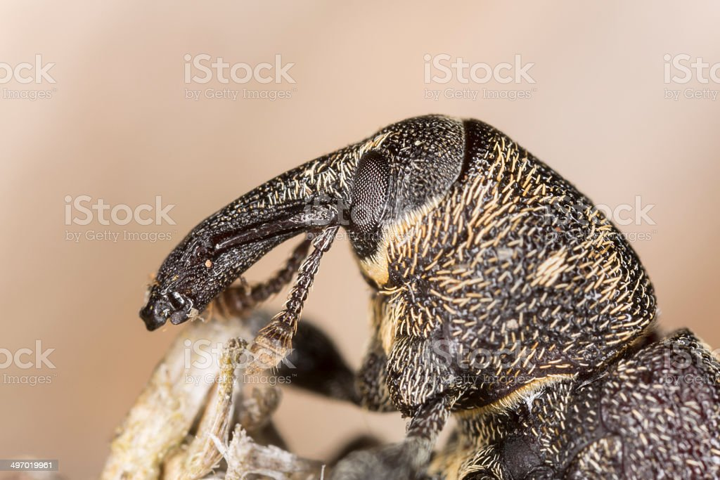 Face of the Snout beetle, Hylobius abietis stock photo