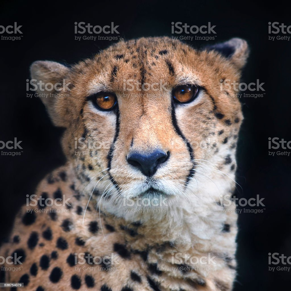 Face portrait of a chetah on black background. stock photo