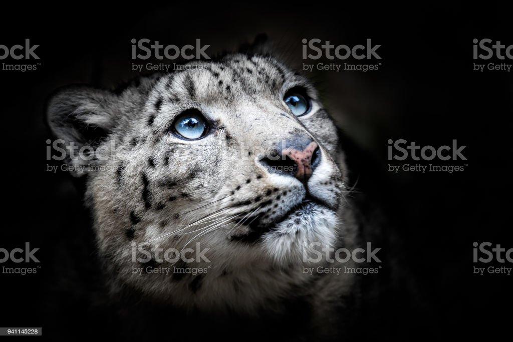 Fotografía de Retrato De La Cara Del Leopardo De Las Nieves Irbis y ...