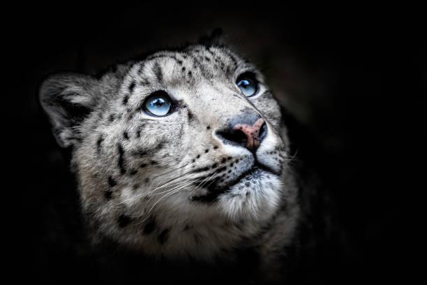 Gesicht-Porträt von Snow Leopard - Irbis (Panthera Uncia) – Foto