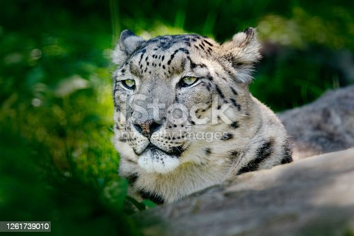 Face portrait of snow leopard with green vegation, Kashmir, India. Wildlife scene from Asia. Detail portrait of beautiful big cat, Panthera uncia.