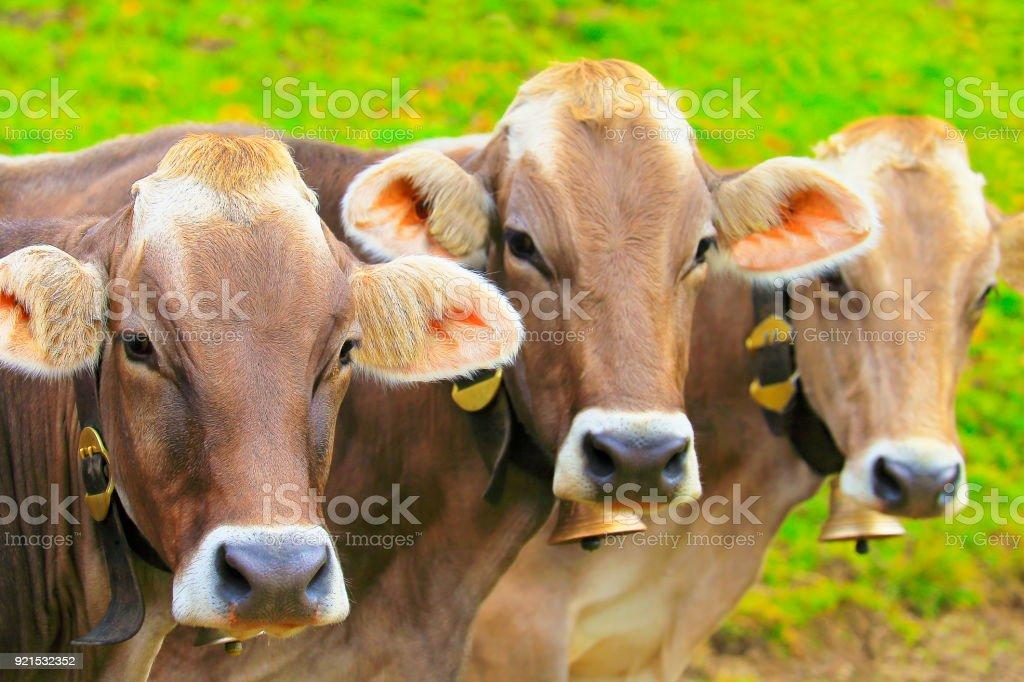 Face to Face: Three Brown cows looking at camera at same time – Tirol, Austria stock photo