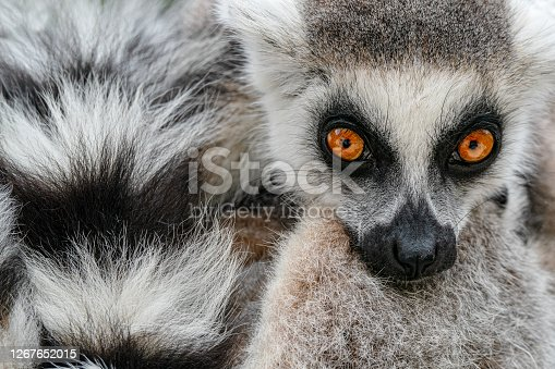 Face with long taill. Detail portrait of cute monkey. Ring-tailed Lemur, Lemur catta, with yellow clear background. Animal from Madagascar, Africa. Close-up photo of monkey.