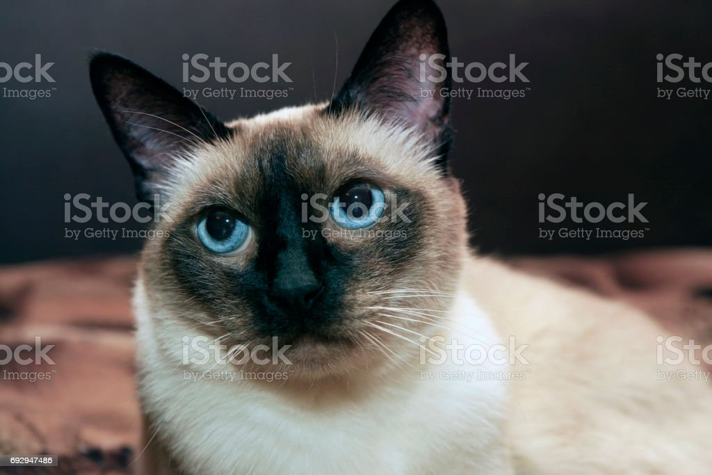 facial close up of cute blue-eyed siamese cat stock photo