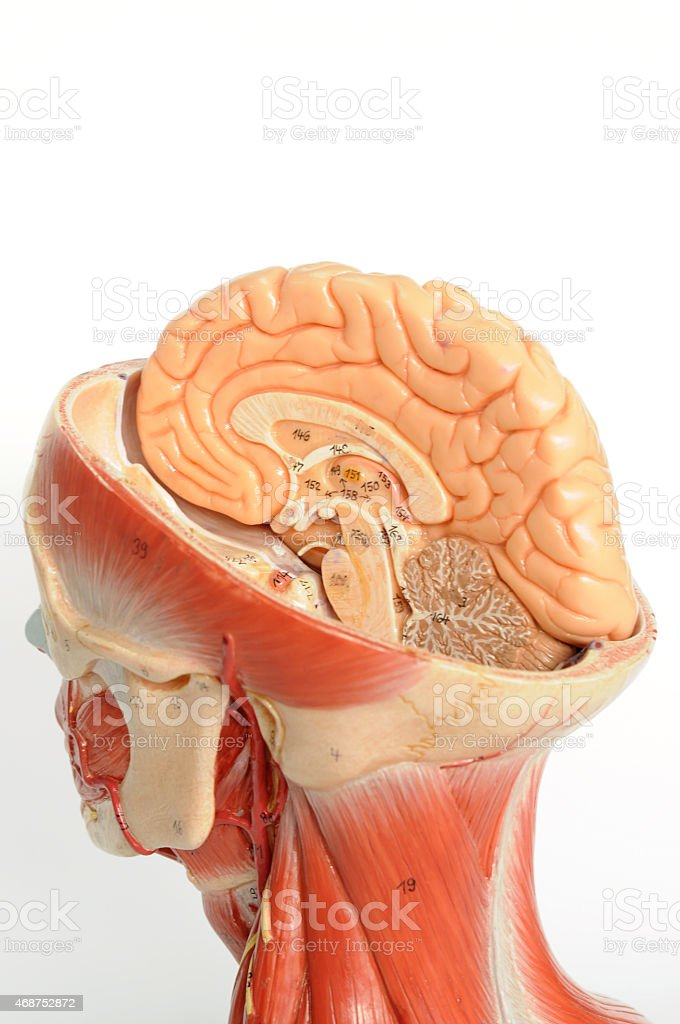 Facial Muscle Anatomy Stock Photo & More Pictures of 2015 | iStock