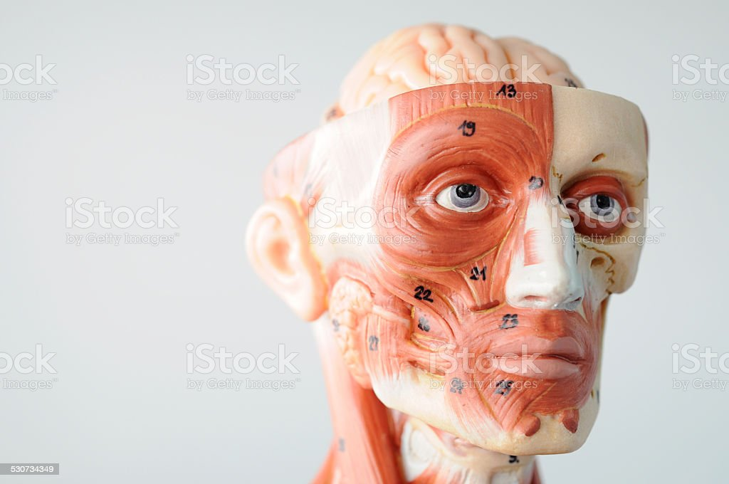 Facial Muscle Anatomy Stock Photo More Pictures Of Anatomy Istock