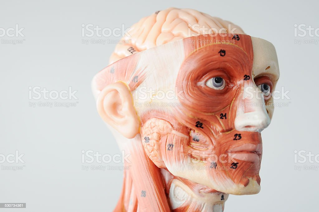 Facial Muscle Anatomy stock photo | iStock