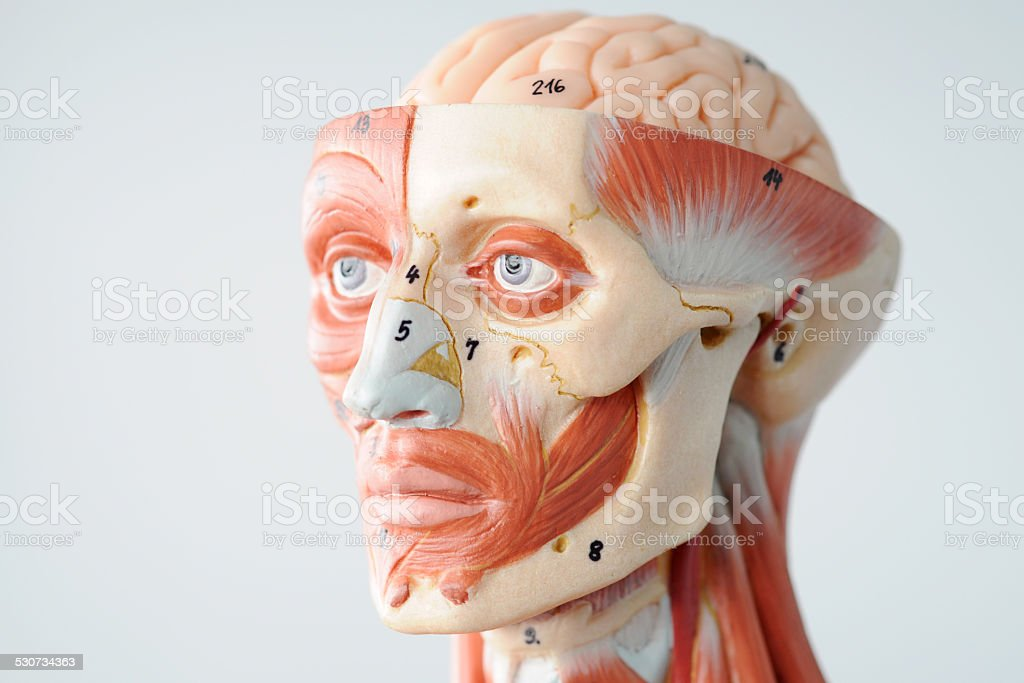 Facial Muscle Anatomy Stock Photo & More Pictures of Anatomy | iStock