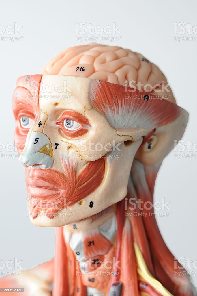 Facial Muscle Anatomy Stock Photo Istock