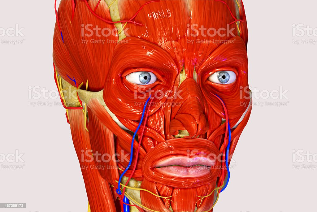 Facial Muscles Stock Photo & More Pictures of Anatomy | iStock