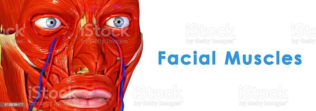 Fotografía de Músculos Faciales y más banco de imágenes de Anatomía ...