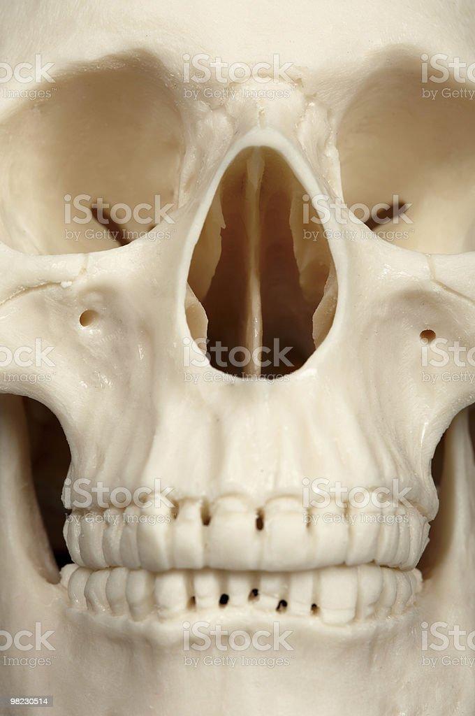 Facial part of skull close up royalty-free stock photo