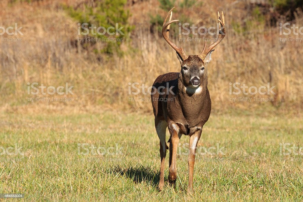 Facing a large 8 point white-tailed buck stock photo