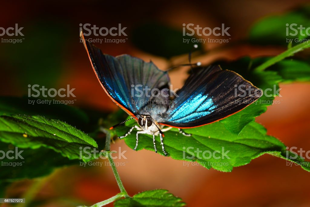 Facing an iridecent, open-winged White M hairstreak butterfly on leaf stock photo