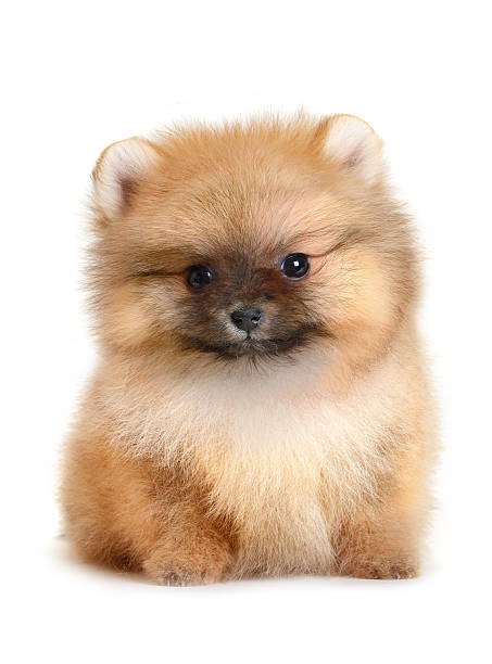 A facing Pomeranian puppy on white stock photo