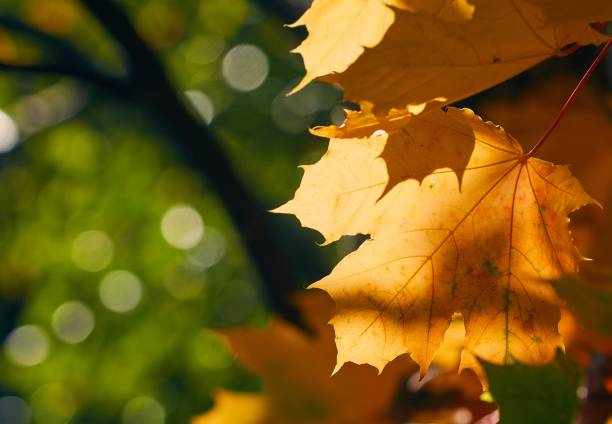 Faded autumn leaves of maple tree in direct sunlight in fall stock photo