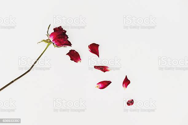 Faded blown away roses on white background picture id636933392?b=1&k=6&m=636933392&s=612x612&h=vwjypxxure1l8mztjowmxmf3oas 3ykswtt7rg50qlg=