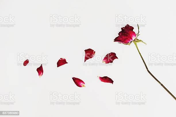 Faded blown away roses on white background picture id637385680?b=1&k=6&m=637385680&s=612x612&h=6anldr5dxaxzkacsyi4q9ew7okdirpta ln6h9utzky=