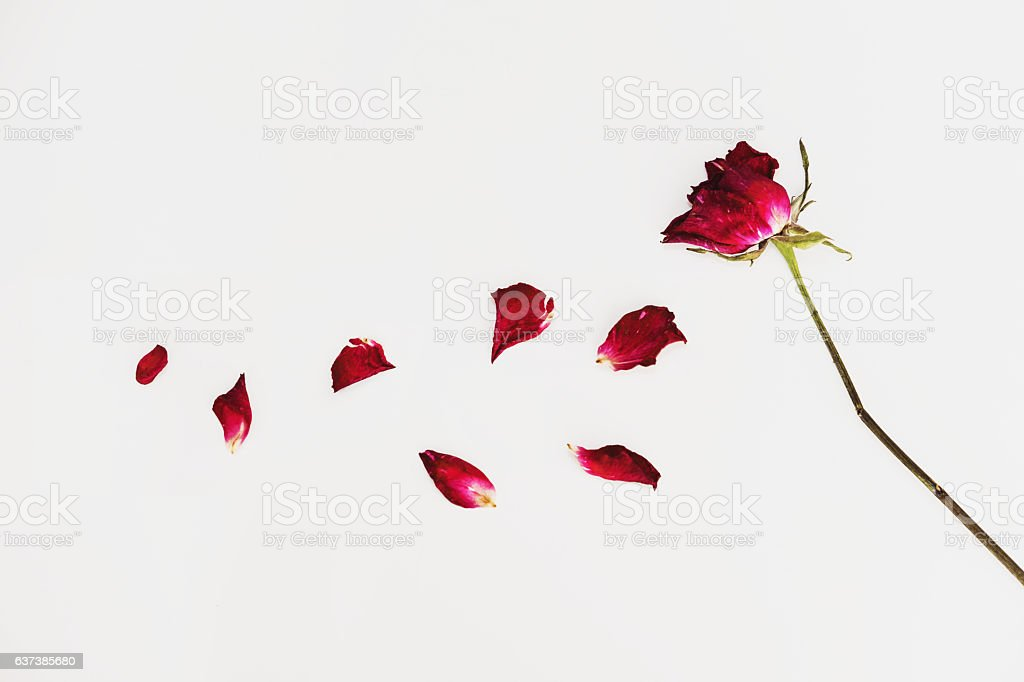 Faded blown away roses on white background stock photo