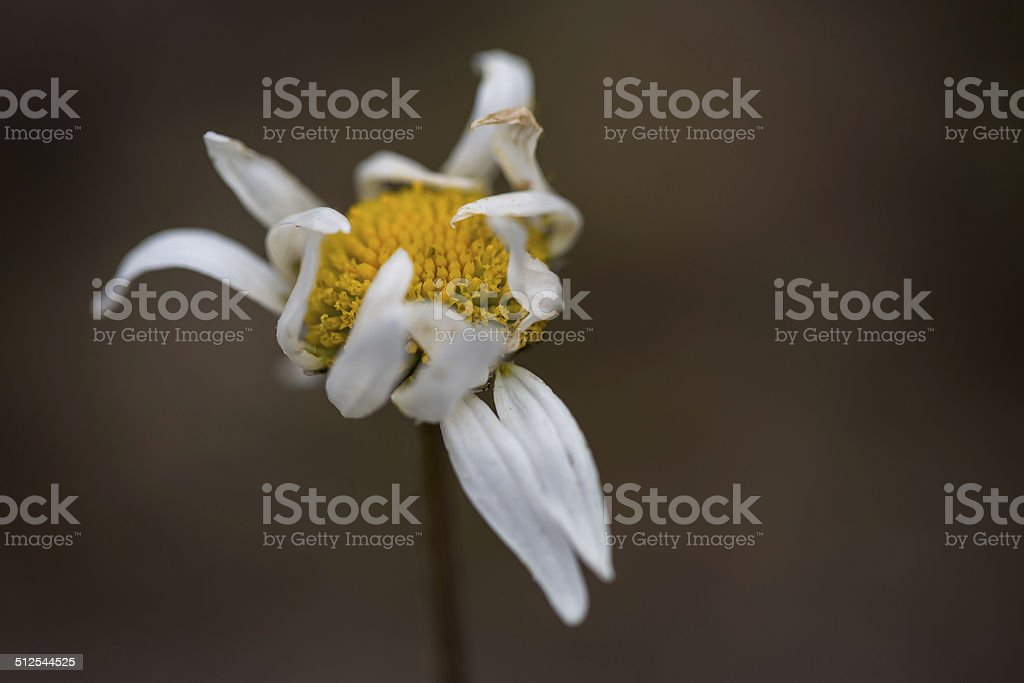Faded daisy royaltyfri bildbanksbilder