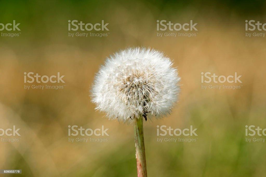 Faded dandelion flower (Taraxacum) stock photo