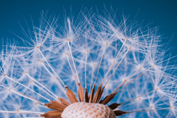 faded dandelion in blue - natural pattern stock photos and pictures
