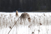 Faded reed straw on a lake in the winter