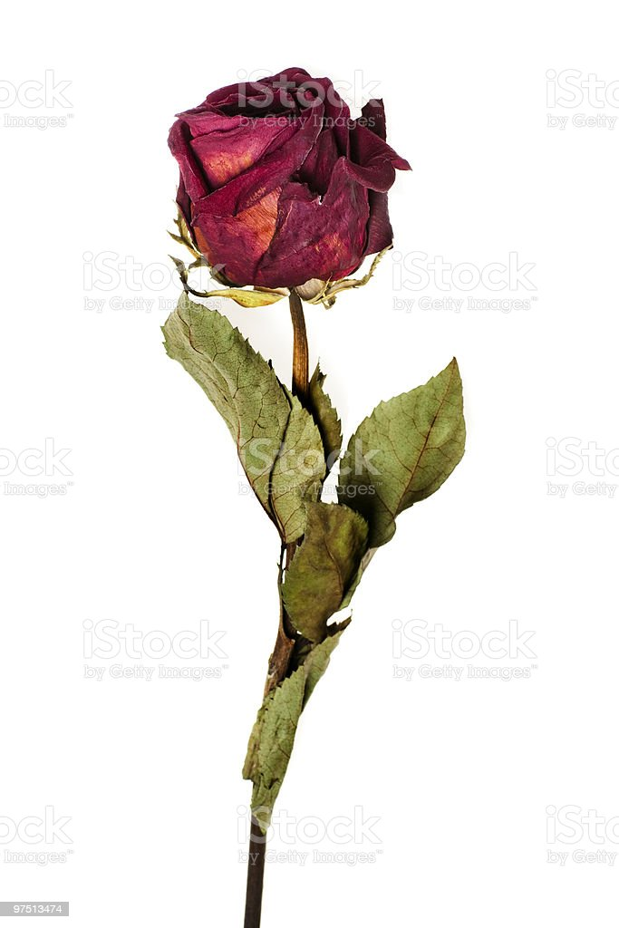 Faded rose royalty-free stock photo