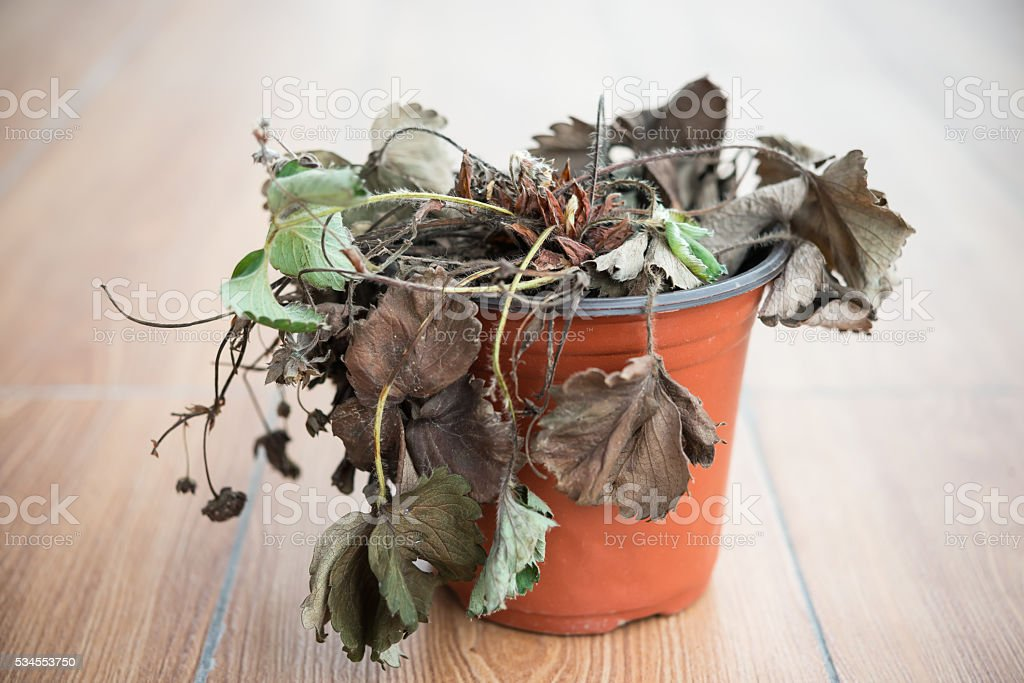 faded strawberry plant stock photo