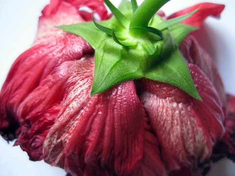 Fading flower of red Chinese hibiscus (Hibiscus rosa-sinensis) with  sepal