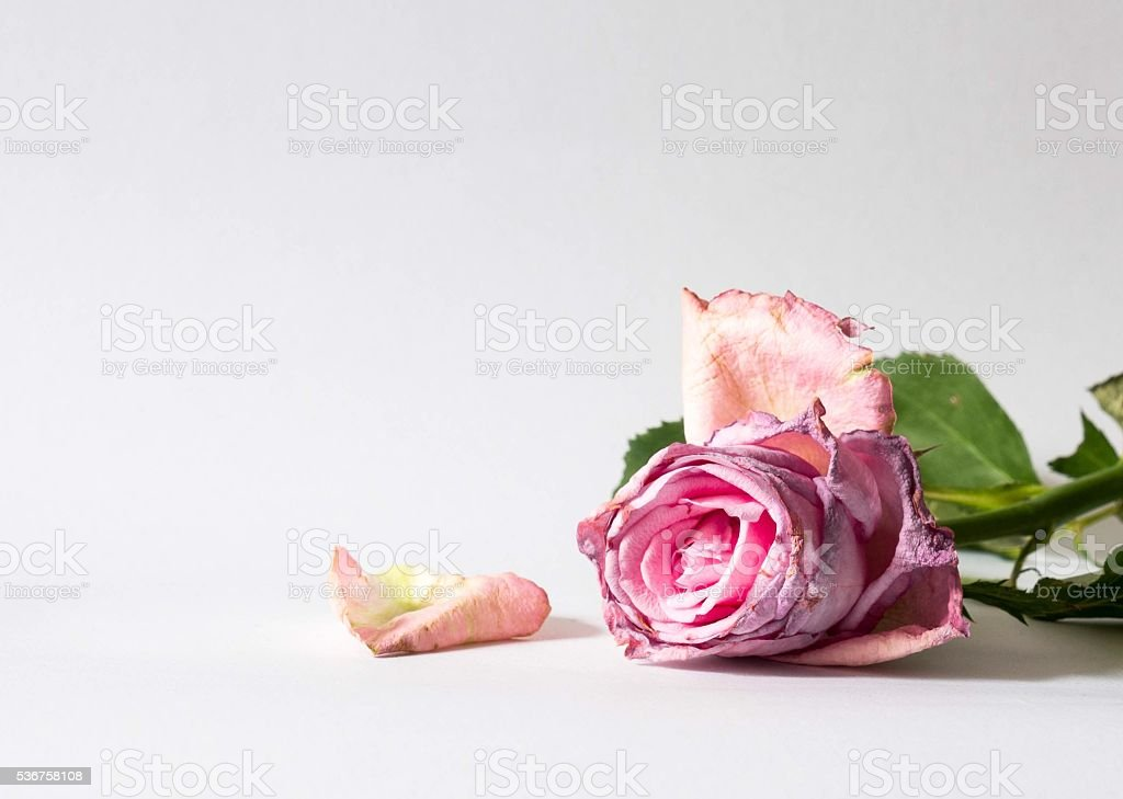 Fading pink Valentine rose petals falling off isolated on white stock photo
