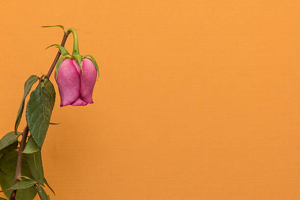 fading rose flower on the orange background - dead plant stock photos and pictures