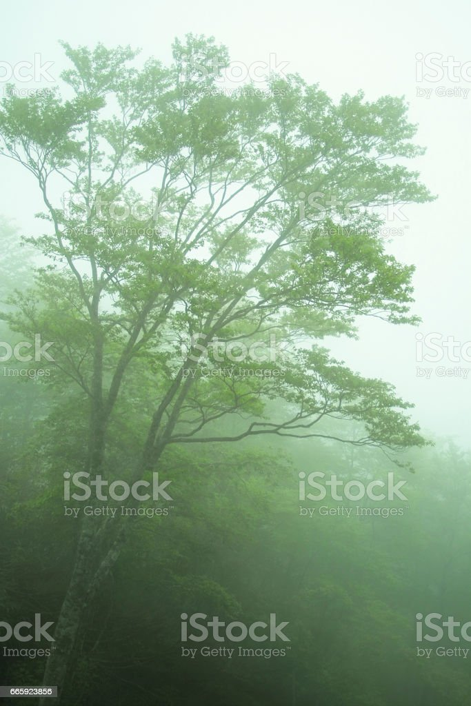 Fagus crenata forests in the mist foto stock royalty-free