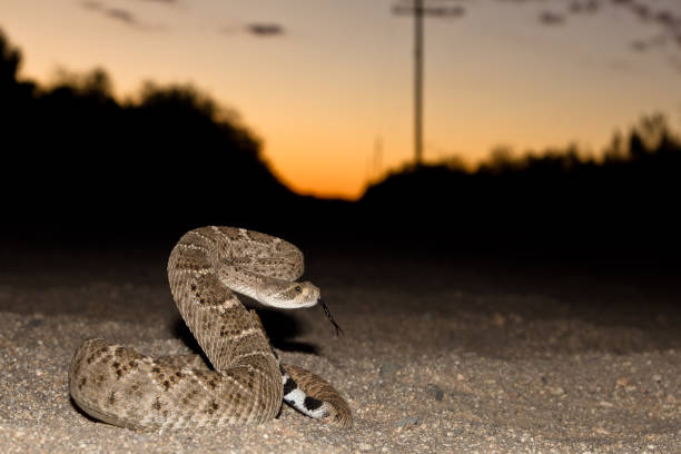 fair warning - snake strike stock photos and pictures
