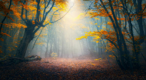 Fairy forest in fog. Fall woods. Enchanted autumn forest in fog in the morning. Old Tree. Landscape with trees, colorful orange and red foliage and blue fog. Nature background. Dark foggy forest stock photo