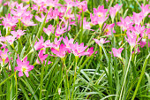 Fairy Lily,Rain Lily,  Little Witches flower in garden