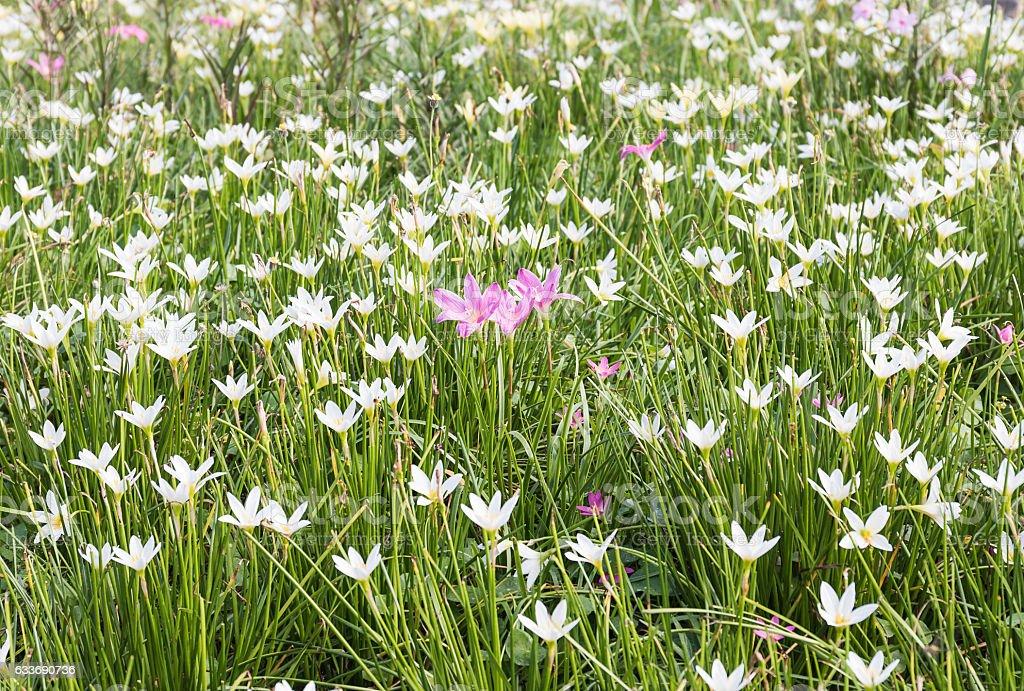 Fairy Lily flower in garden stock photo