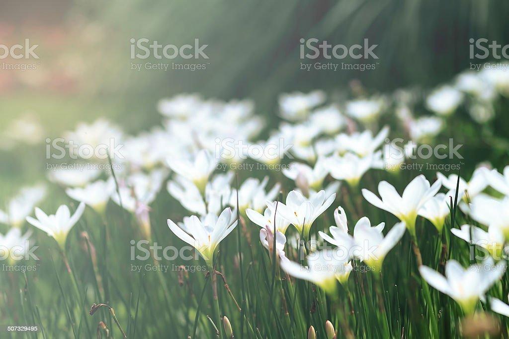 Fairy Lily stock photo