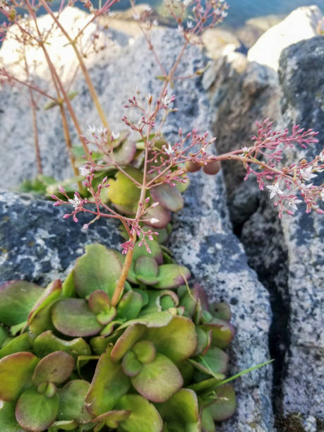 Fairy or pitted crassula stock photo