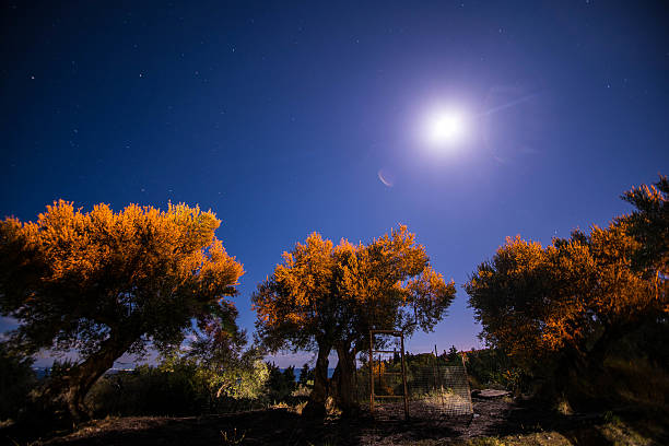 Fairy Tale Feel Photo (Olive Trees Under the Moonlight) stock photo