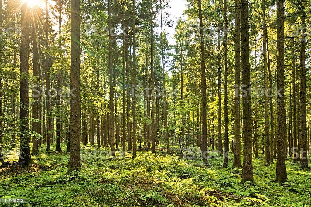 Fairy Tale Forest - Sunburst stock photo