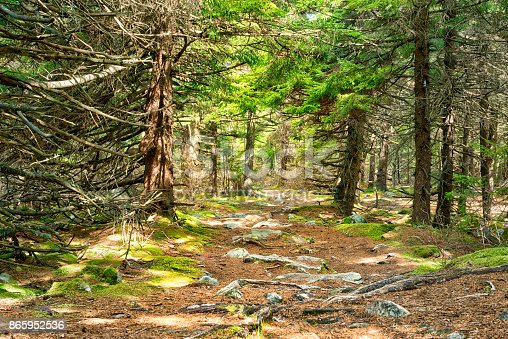 istock Fairy Tale spruce pine tree forest in West Virginia during autumn with nobody on sunny day 865952536